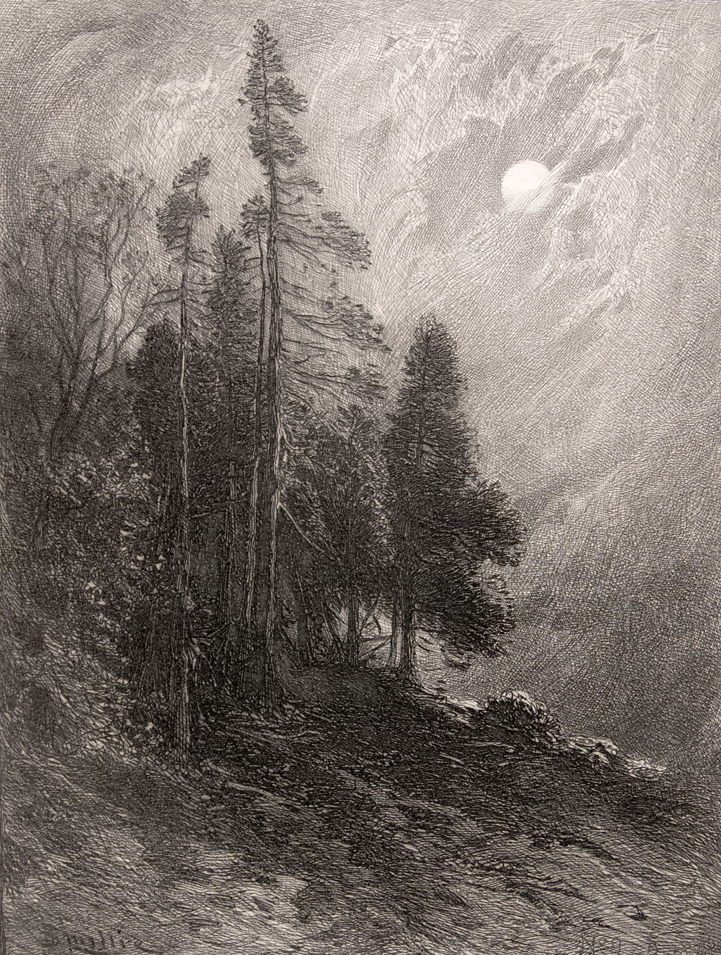 Cedars by Moonlight